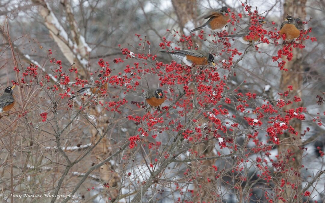 Berries for Birds in Winter